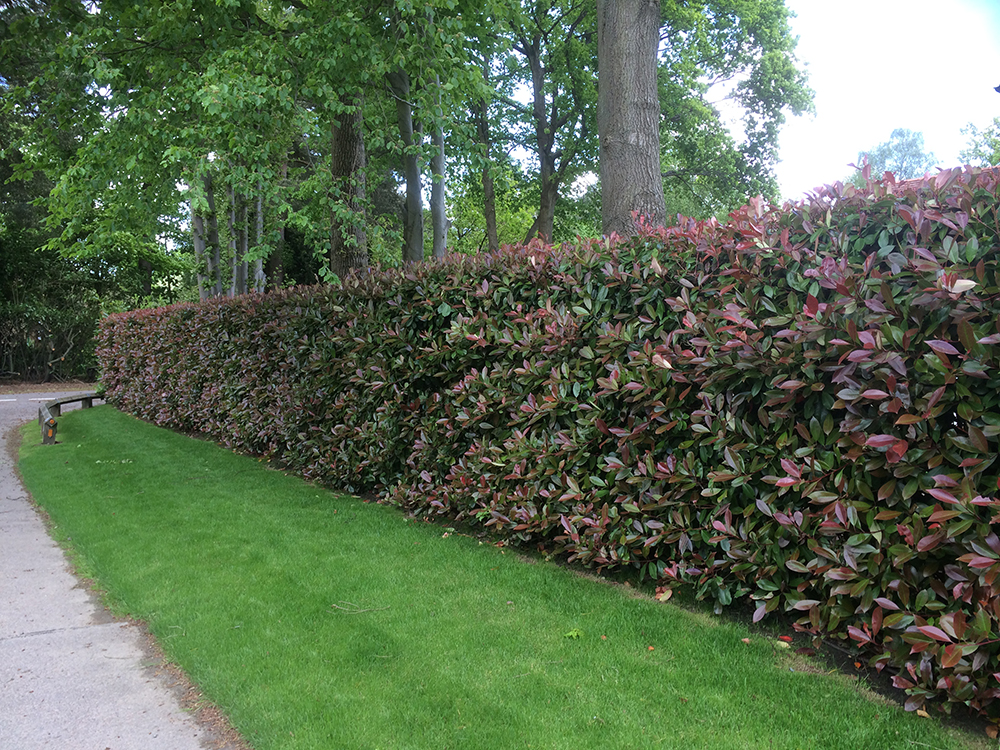 photinia instant hedge from practicaity brown. Black Bedroom Furniture Sets. Home Design Ideas