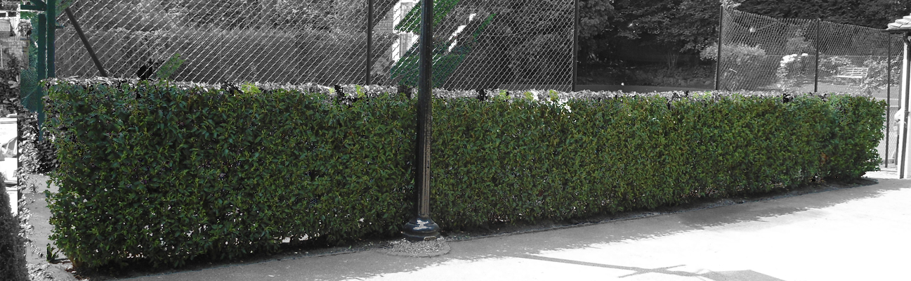 an image of the portuguese laurel instant hedge surrounding a tennis court