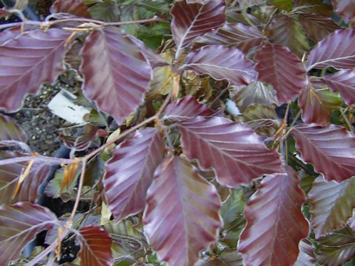 Purple Beech Hedge leaf
