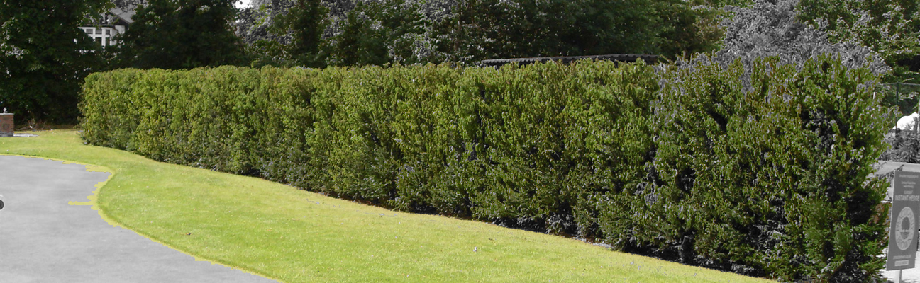 an image of the yew Taxus baccata installed in a garden