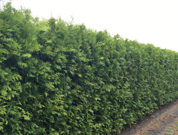 Thuja occidentalis Brabant mature hedging