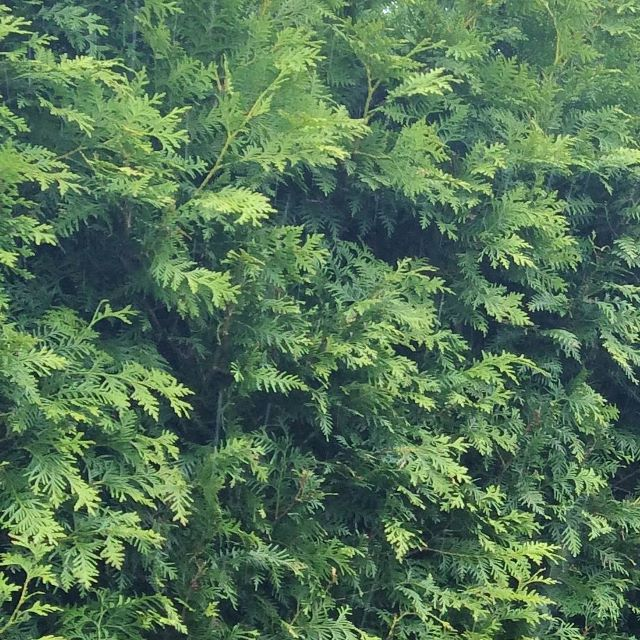 White Cedar, Thuja occidentalis mature Instant Hedge Practicality Brown