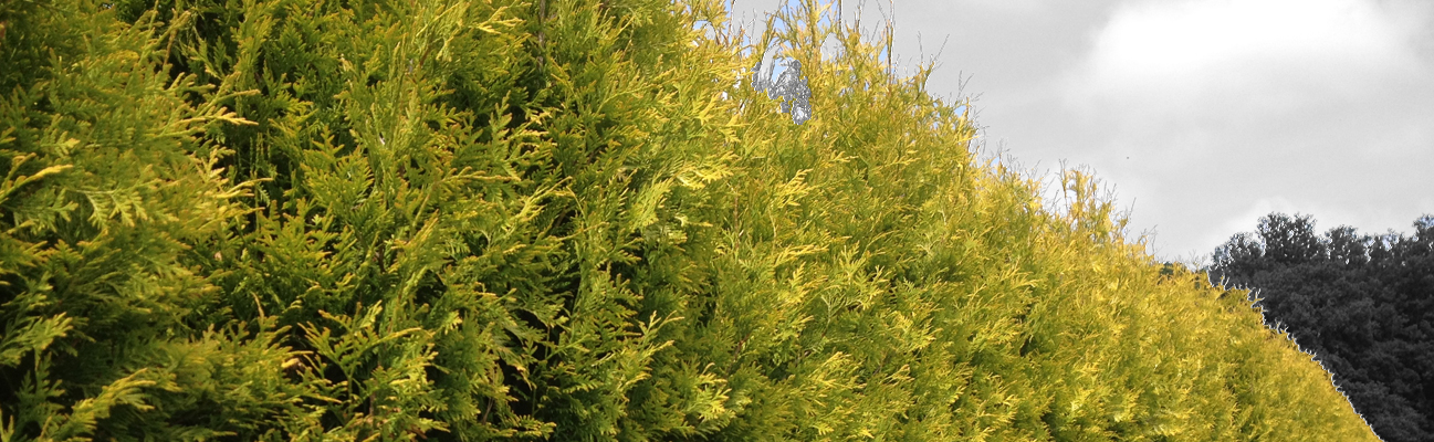 A picture of the thuja occidentalis hedge