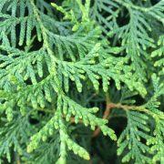 Thuja hedge detail