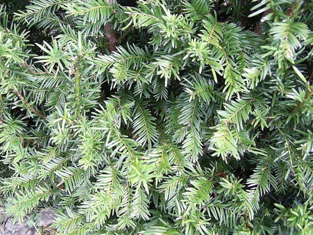 Yew leaf detail