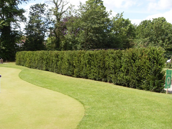 Yew instant hedging on a putting green