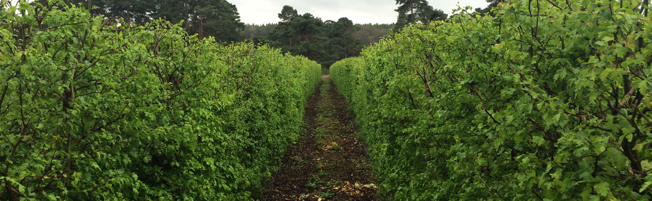 picture of two rows of the hawthorn instant hedge at elveden