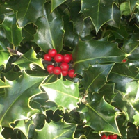 Holly Evergreen Instant Hedge
