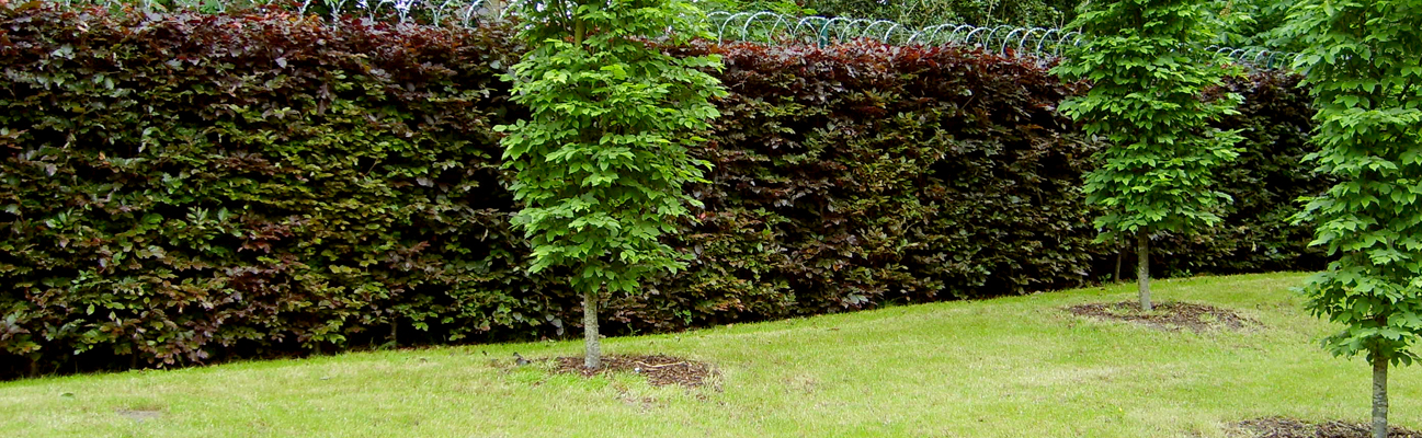 An image of the purple beech a year after it has been planted
