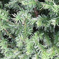 Yew Evergreen Instant Hedge