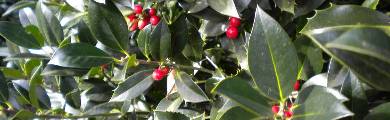 image of the leaf detail of a holly hedge