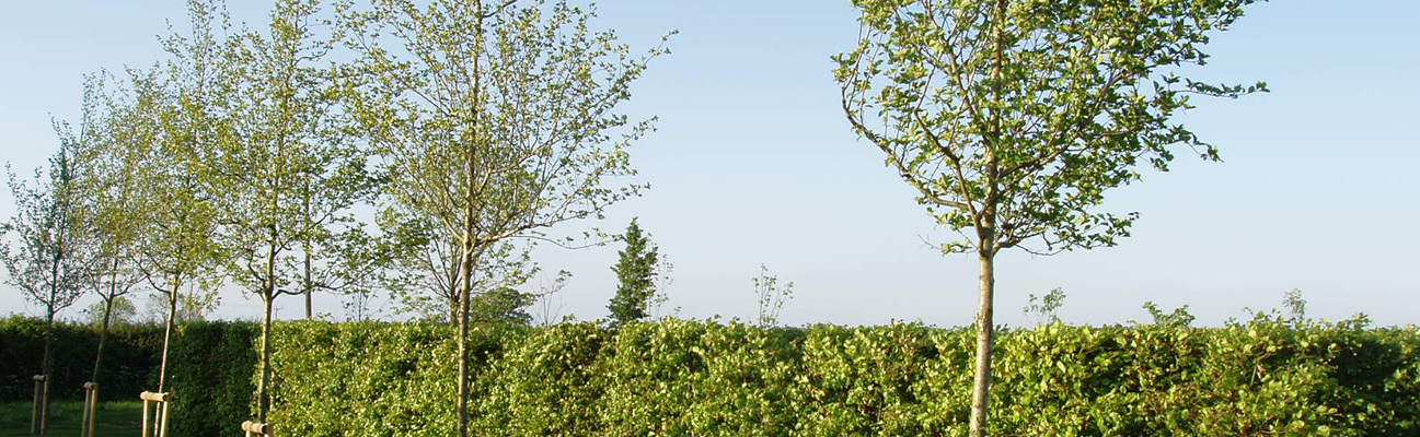 image of our instant hedge and some specimen semi mature trees