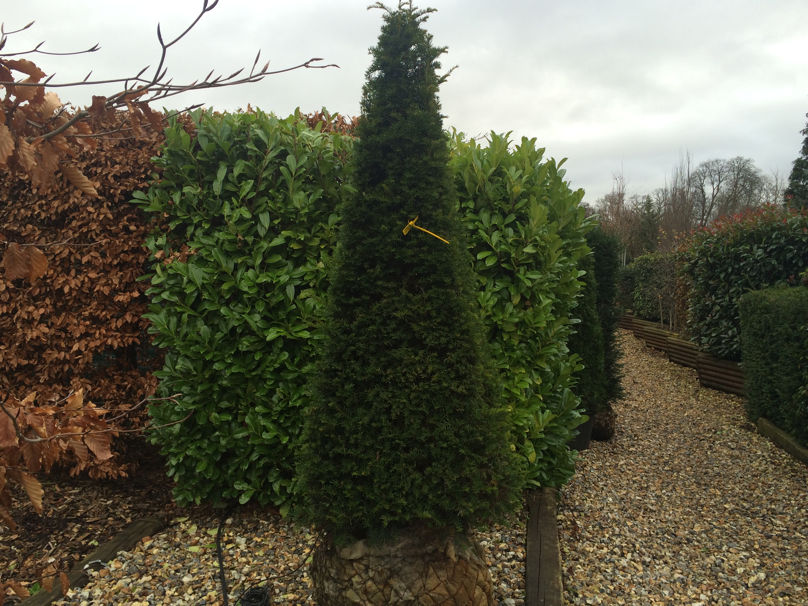 Taxus Baccata Yew Topiary Shapes Practicality Brown
