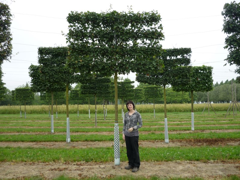 Selection Of Pleached And Espalier Trees Practicality Brown