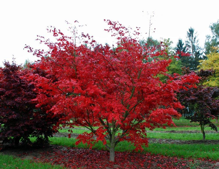 Acer Palmatum Osakazuki Japanese Maple Practicality Brown