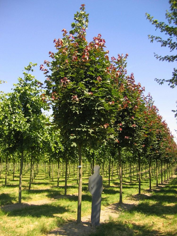 Acer platanoides deborah deborah norway maple - Arce platanoide ...