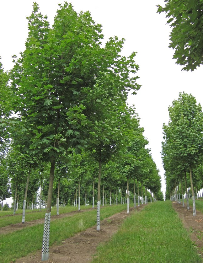 Acer Platanoides Emerald Queen Emerald Queen Norway Maple