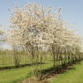 Amelanchier lamarckii June Berry
