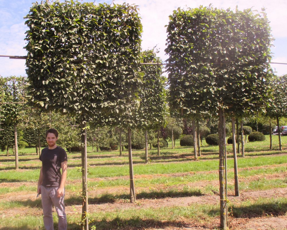 A Selection Of Pleached And Espalier Trees