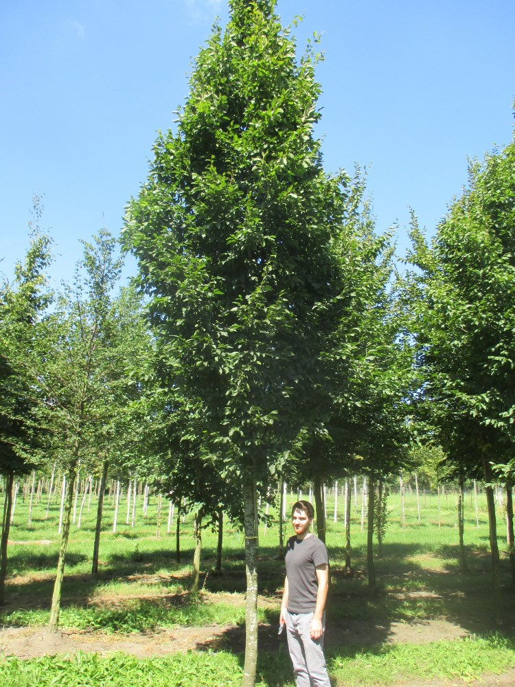 25 30 Www Bing Comhella O: Carpinus Betulus Frans Fontaine (Hornbeam) Practicality Brown