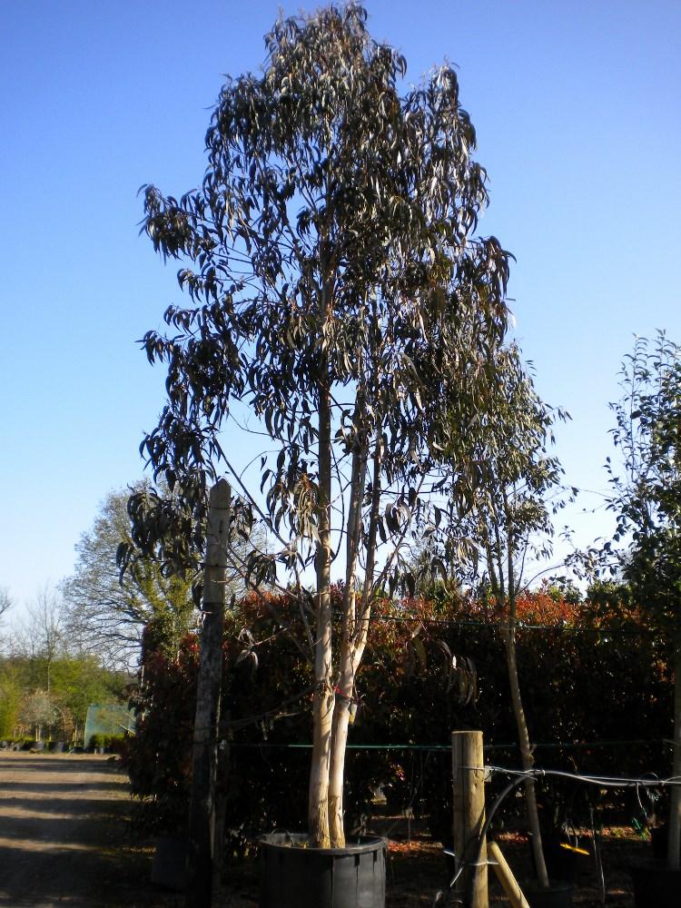 Eucalyptus Globulus Tasmanian Blue Gem Practicality Brown