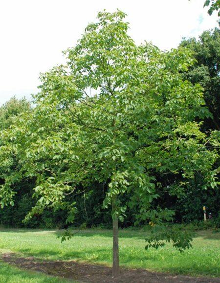 juglans regia common walnut practicality brown. Black Bedroom Furniture Sets. Home Design Ideas