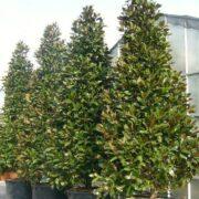 Magnolia grandiflora fully feathered
