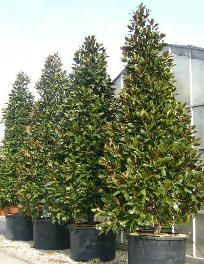 Magnolia Grandiflora Bull Bay From Practicality Brown