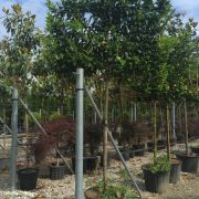 Cherry laurel pleached