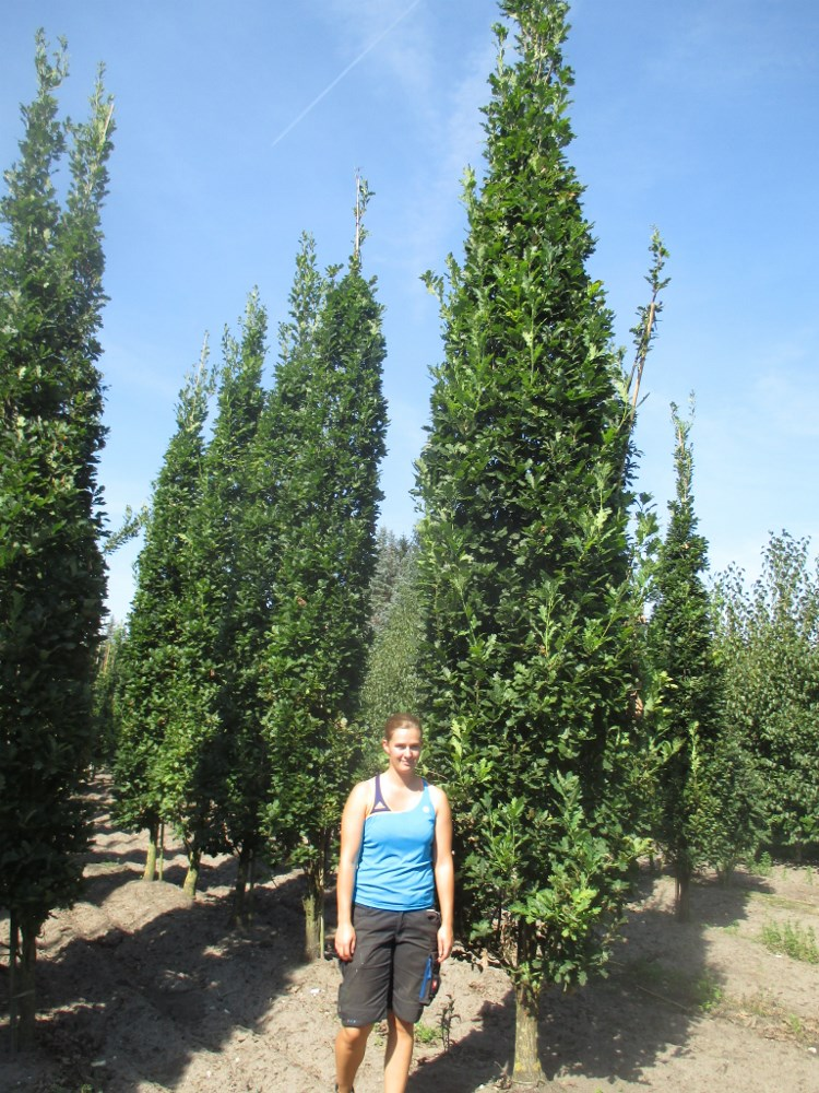 Quercus Robur Fastigiata Fastigiate Oak Practicality Brown