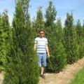 Thuja plicata Atrovirens (Western Red Cedar)