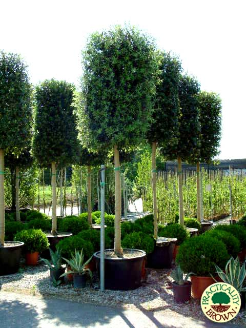 Trees at our nursery in Iver