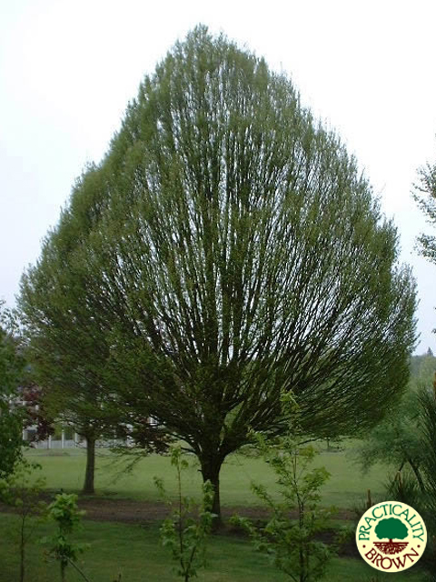 Mature Trees For Screening