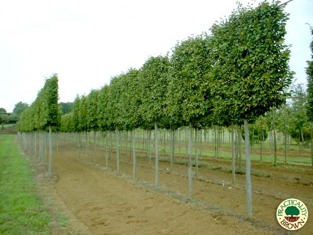 Selection of specimen trees available practicality brown for Specimen evergreen trees small