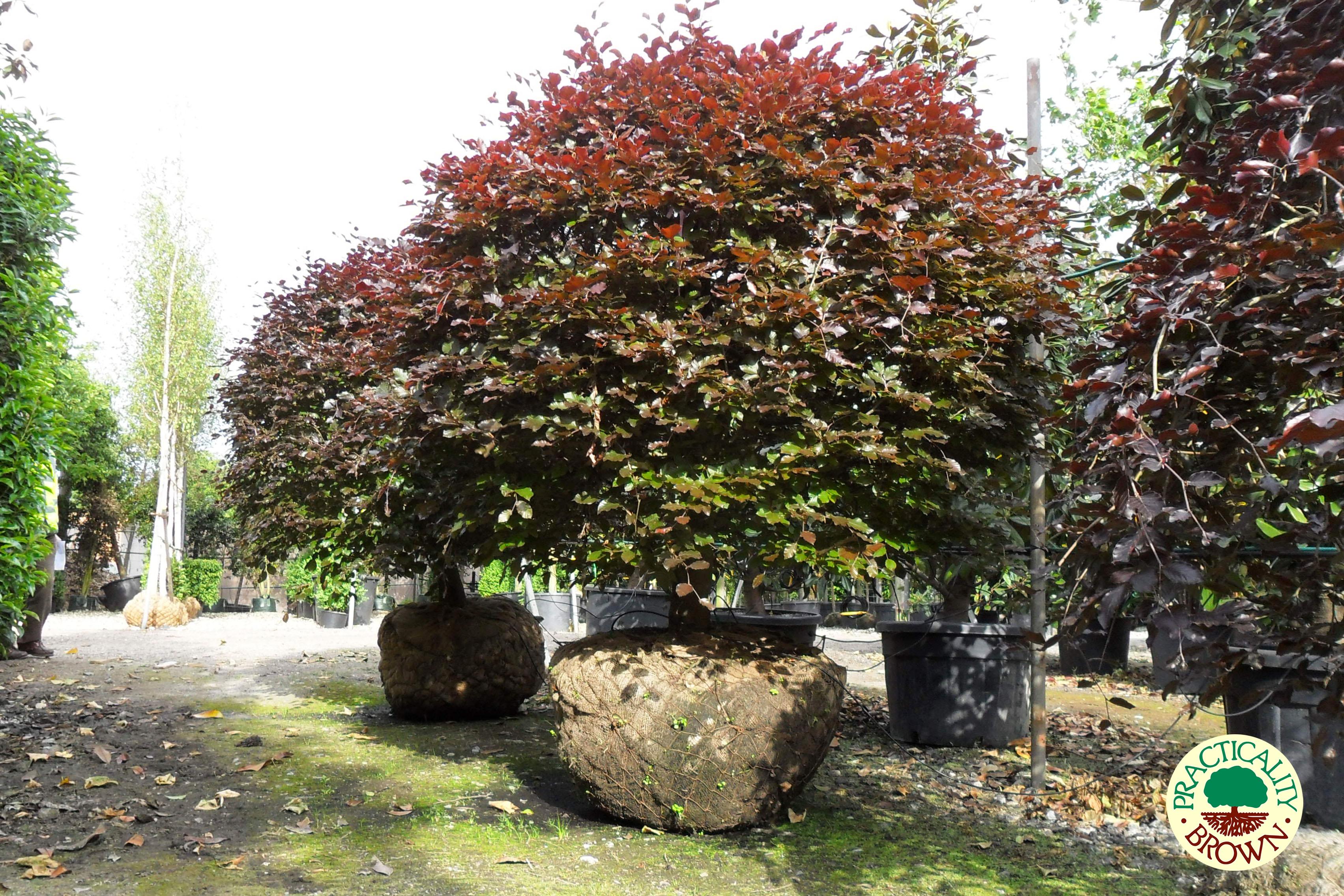 Fagus sylvatica Purpurea (Purple Beech tree topiary) Practicality Brown