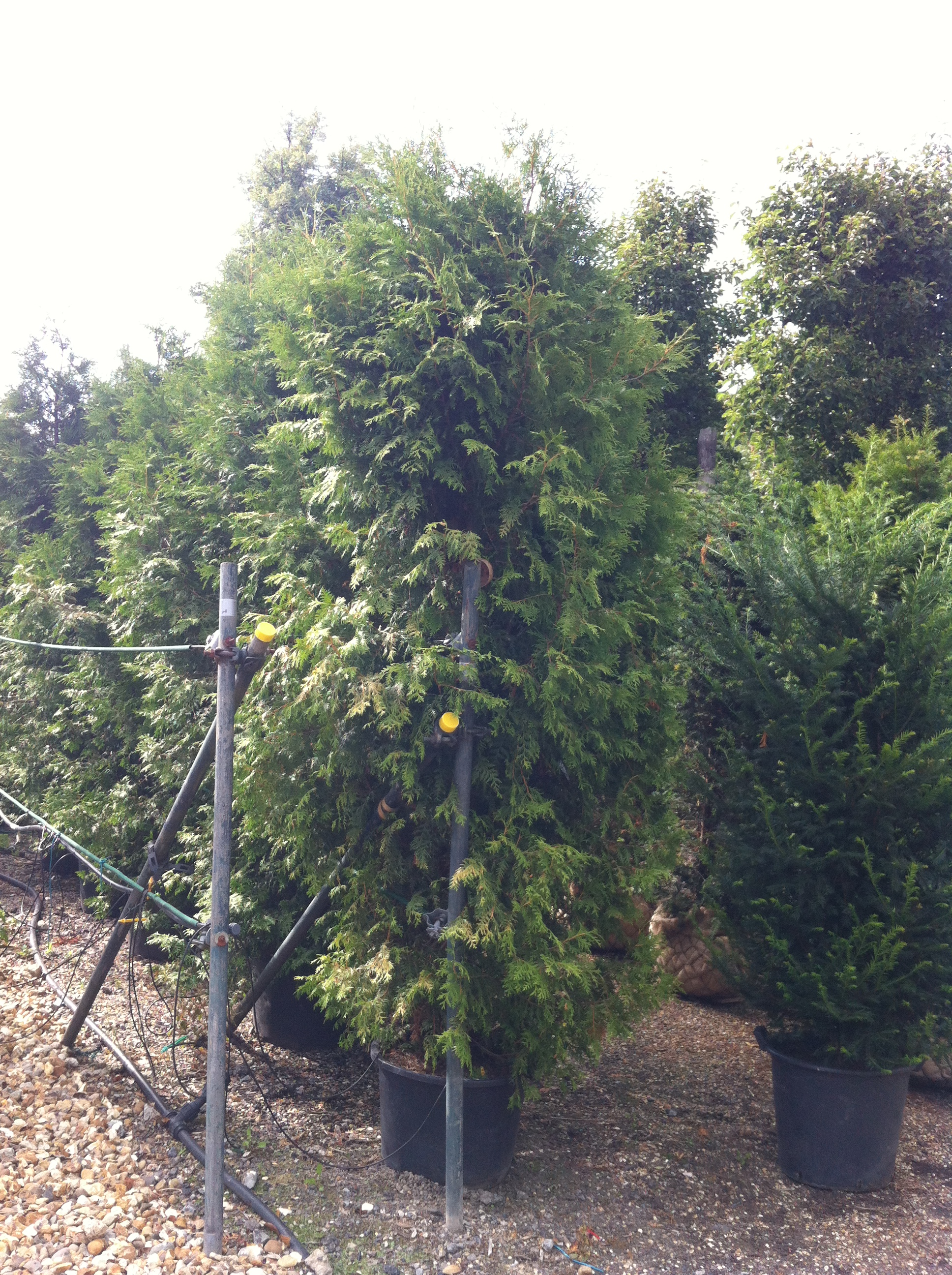 Thuja occidentalis Brabant (White Cedar) Practicality Brown