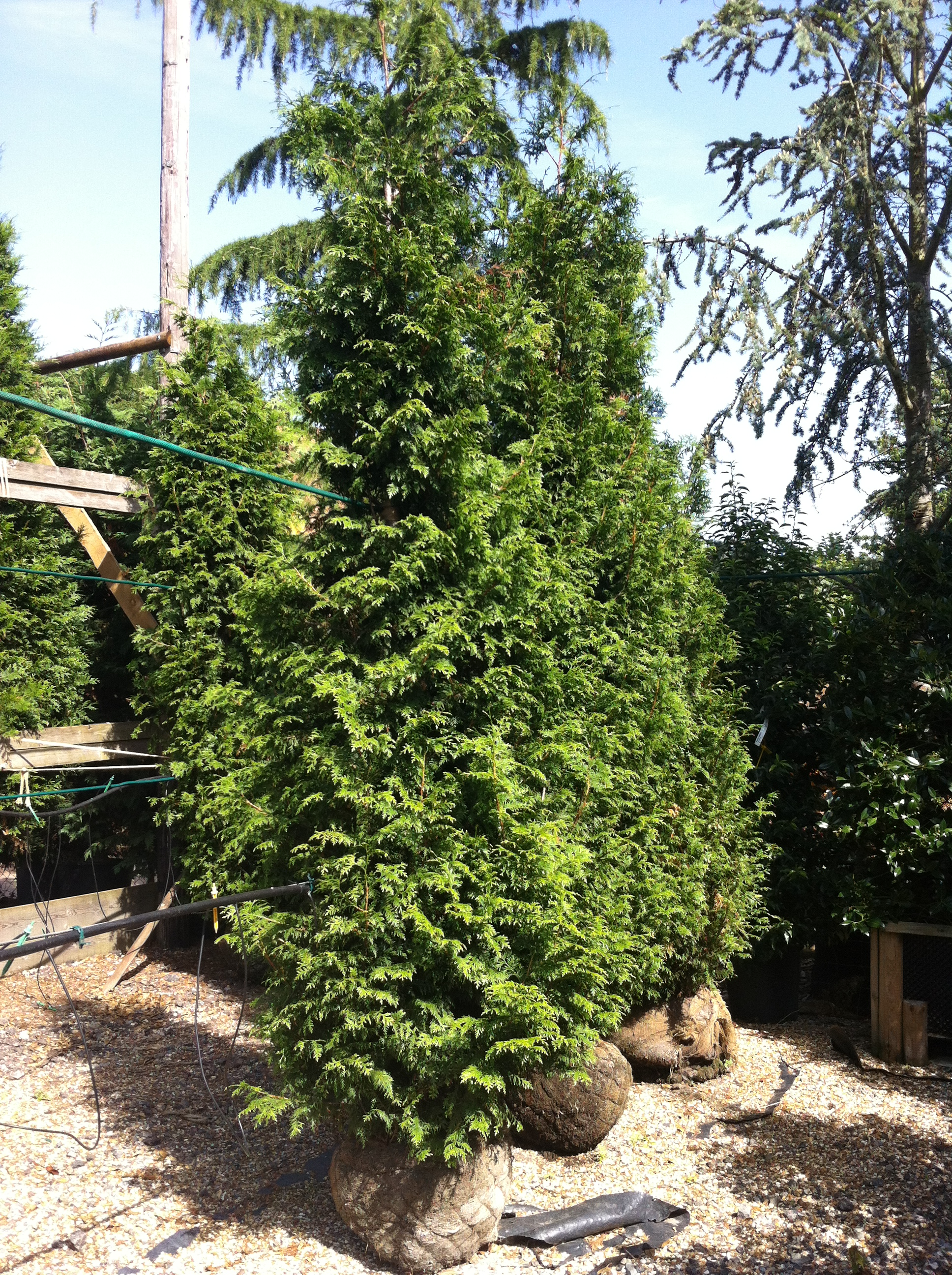 Western Red Cedar Tree ~ Thuja plicata western red cedar large evergreen tree