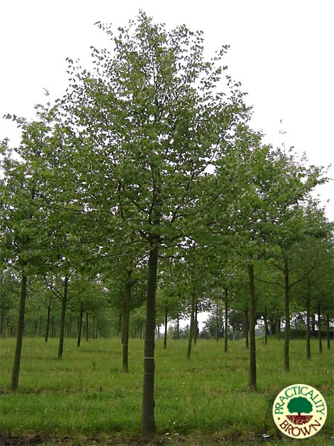 Tilia cordata - small leaved lime trees
