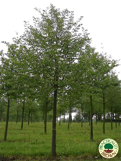 Tilia cordata - small leaved lime trees