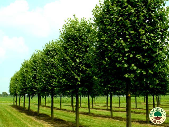 Selection Of Specimen Trees Available Practicality Brown