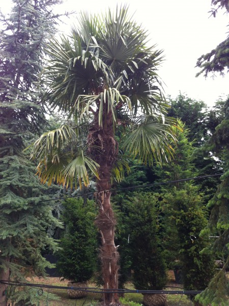 Trachycarpus fortunei or Chinese Fan Palm