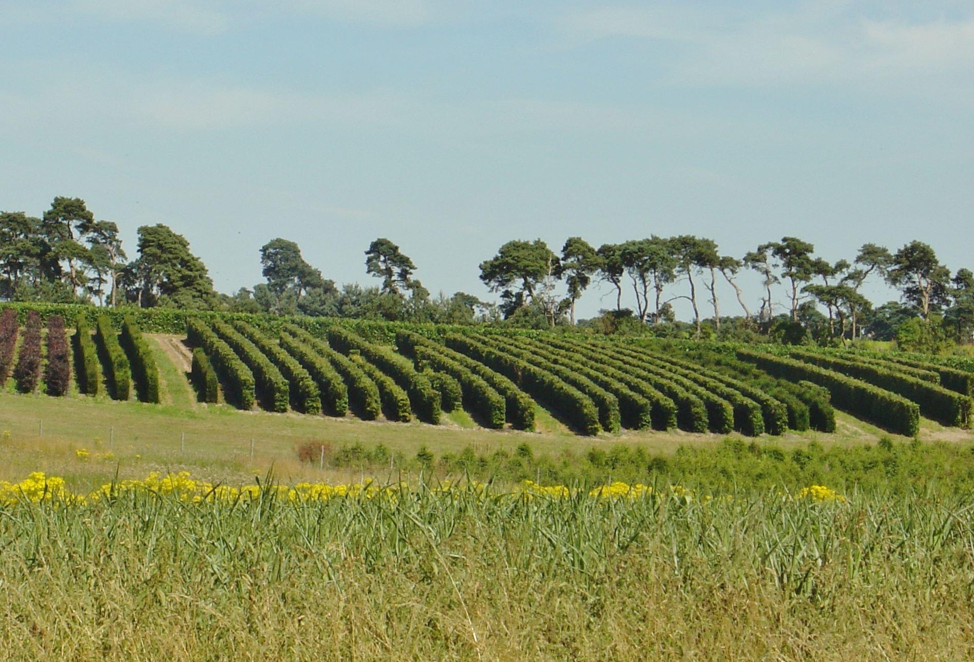 Instant Hedge growing at Elveden