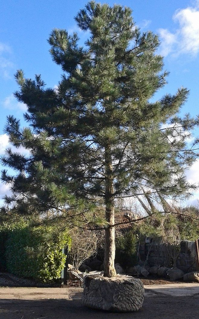 Root balled trees and transplanting practicality brown for Mature pine trees