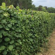 Native Mix Instant Hedge growing at production site