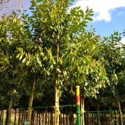 Cherry laurel is a great screening tree