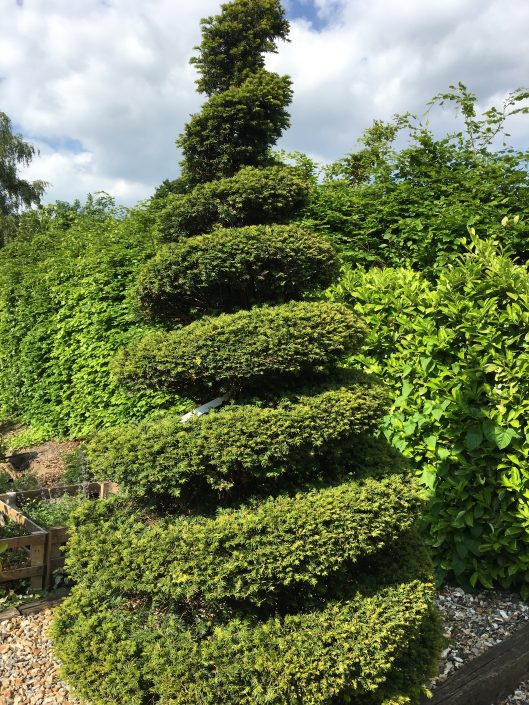 A Beautiful pair of Taxus Spirals