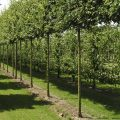 Native Field Maple pleached