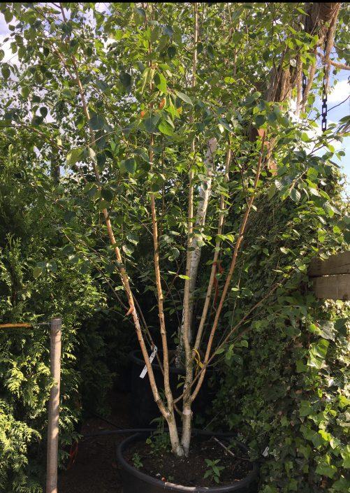 Assorted Birch