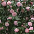 Japanese camellia evergreen