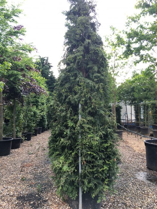 Conifers up to 5m